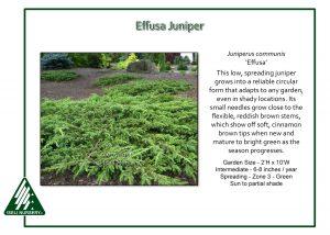 Juniperus communis 'Effusa'