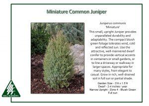 Juniperus communis 'Miniature'