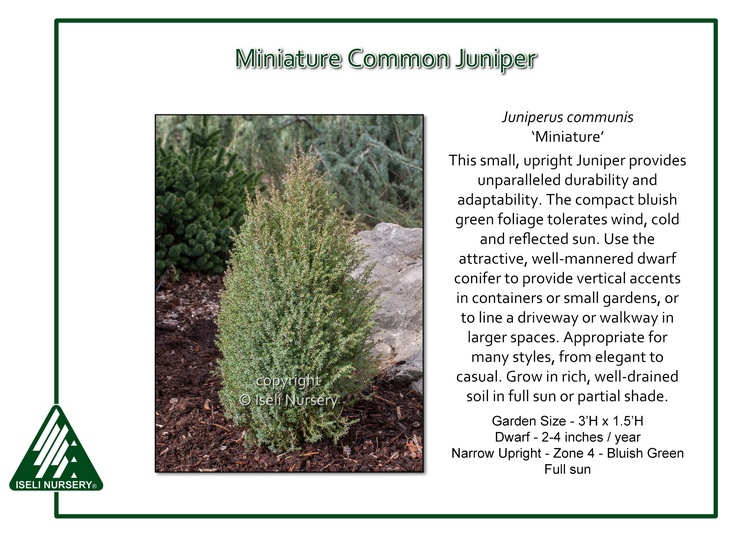 Juniperus communis 'Miniature'