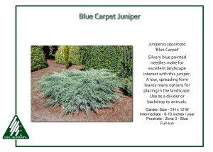 Juniperus squamata 'Blue Carpet'