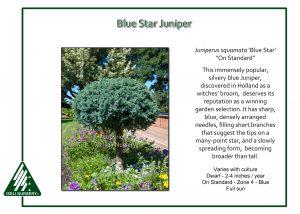 Juniperus squamata 'Blue Star' - on standard
