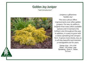 Juniperus x pfitzeriana 'Golden Joy'