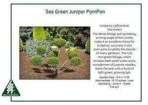Juniperus x pfitzeriana 'Sea Green' - PomPon