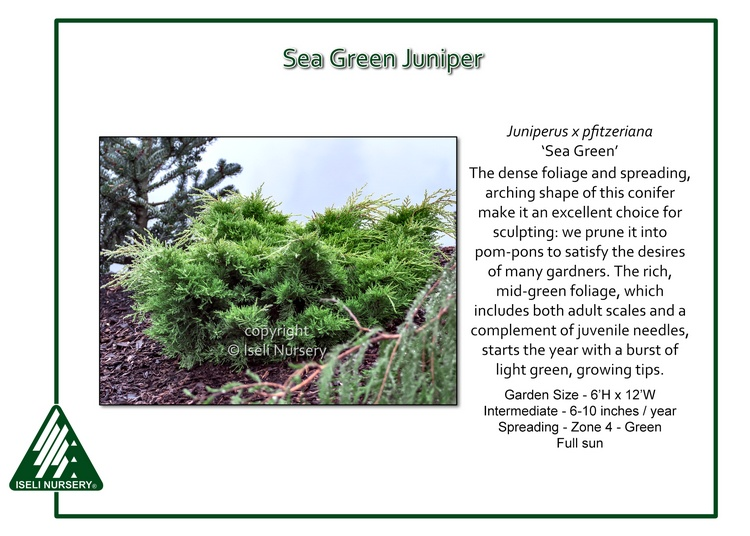 Juniperus x pfitzeriana 'Sea Green'