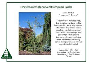 Larix decidua 'Horstmann's Recurva'