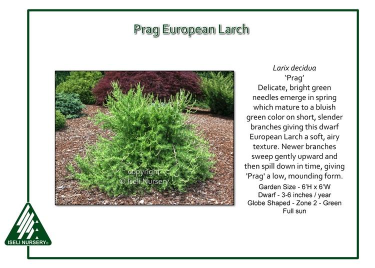 Larix decidua 'Prag'
