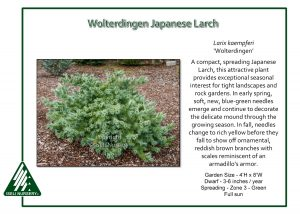 Larix kaempferi 'Wolterdingen'