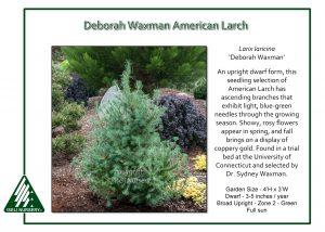 Larix laricina 'Deborah Waxman'
