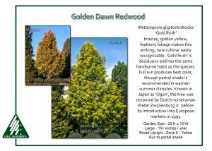 Metasequoia glyptostoboides 'Gold Rush'