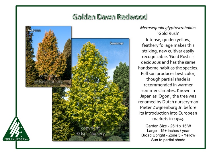 Metasequoia glyptostoboides 'Gold Rush'