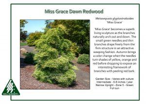 Metasequoia glyptostoboides 'Miss Grace'