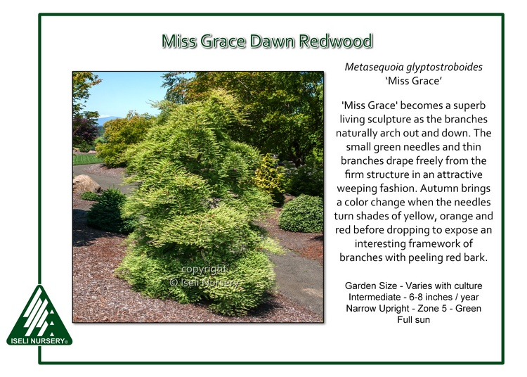 Metasequoia glyptostoboides 'Miss Grace'