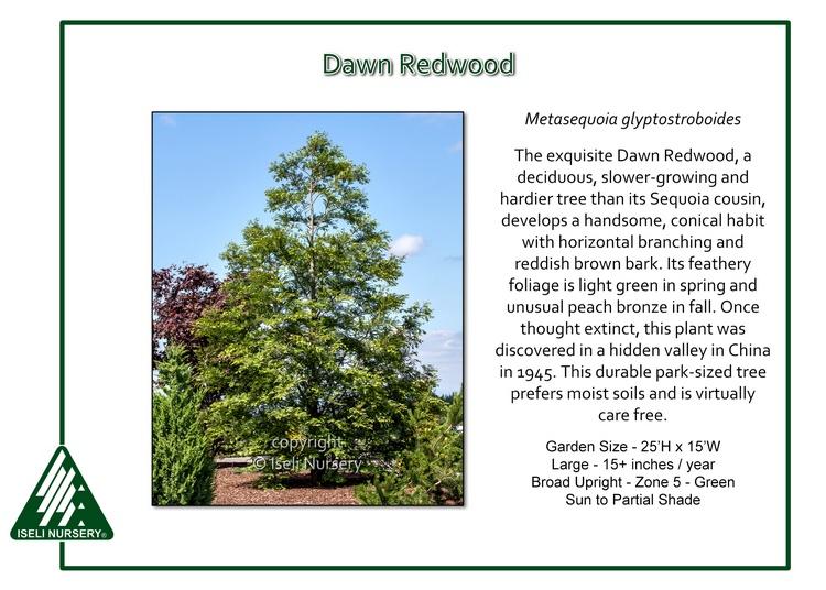 Metasequoia glyptostoboides
