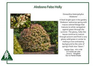 Osmanthus heterophyllus 'Akebono'