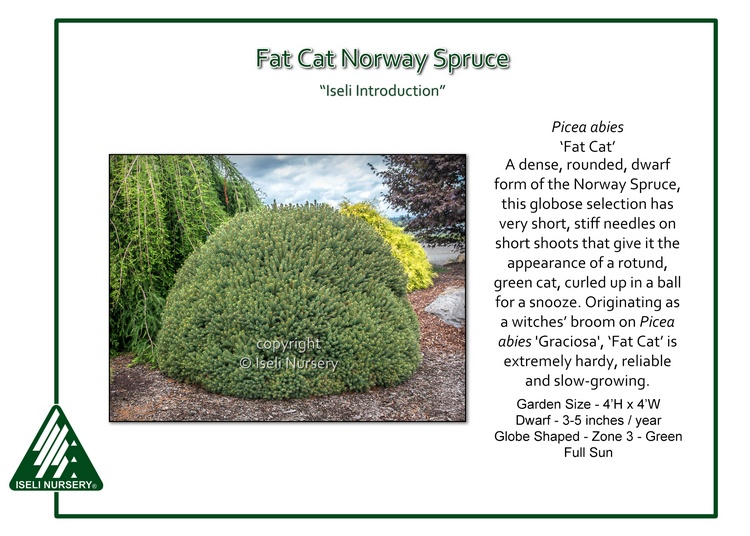 Picea abies 'Fat Cat'