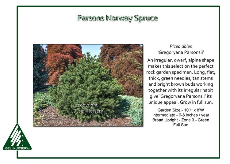 Picea abies 'Gregoryana Parsonsii'