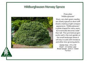 Picea abies 'Hildburghausen'