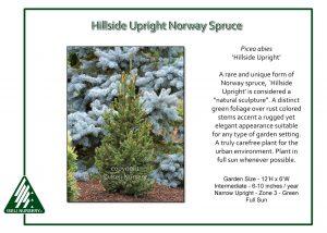Picea abies 'Hillside Upright'