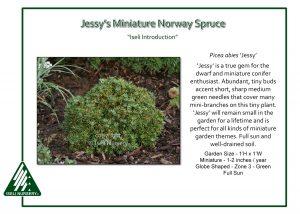 Picea abies 'Jessy'