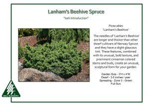 Picea abies 'Lanham's Beehive'