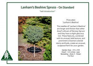 Picea abies 'Lanham's Beehive' - on standard