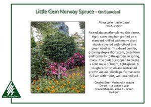 Picea abies 'Little Gem' - on standard