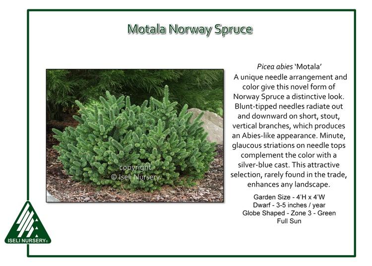 Picea abies 'Motala'