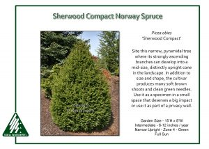 Picea abies 'Sherwood Compact'