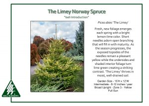 Picea abies 'The Limey'