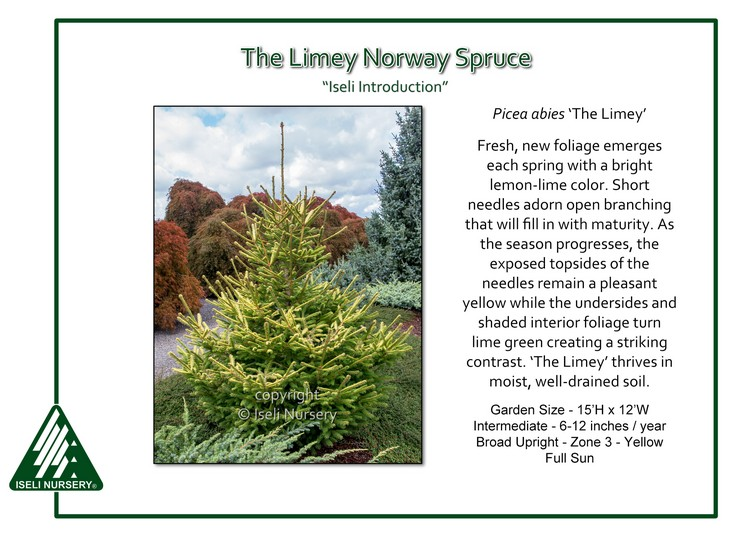 Picea abies 'The Limey'
