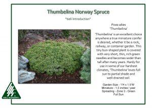 Picea abies 'Thumbelina'