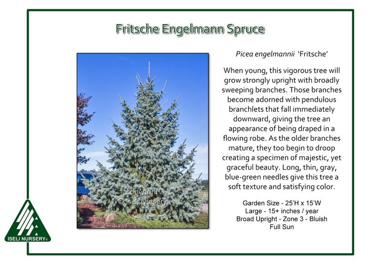 Picea engelmannii 'Fritsche'