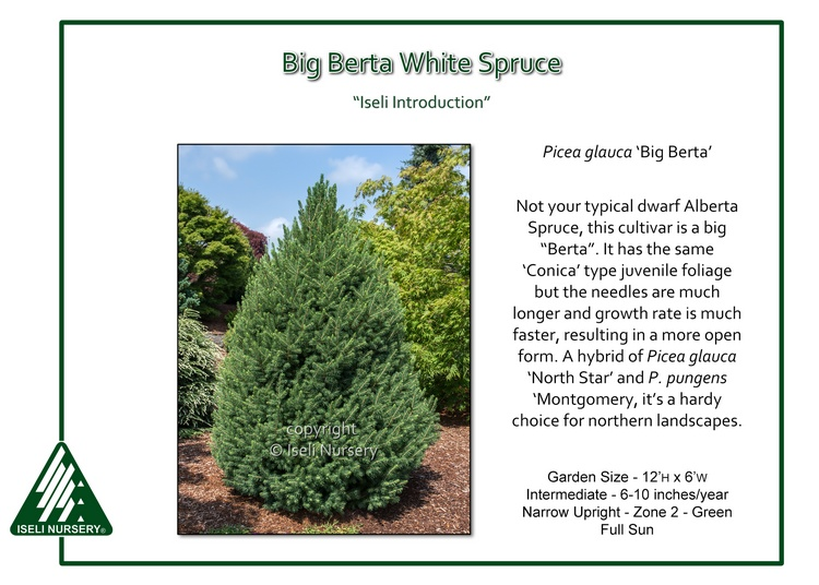 Picea glauca 'Big Berta'