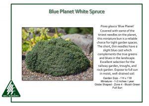 Picea glauca 'Blue Planet'