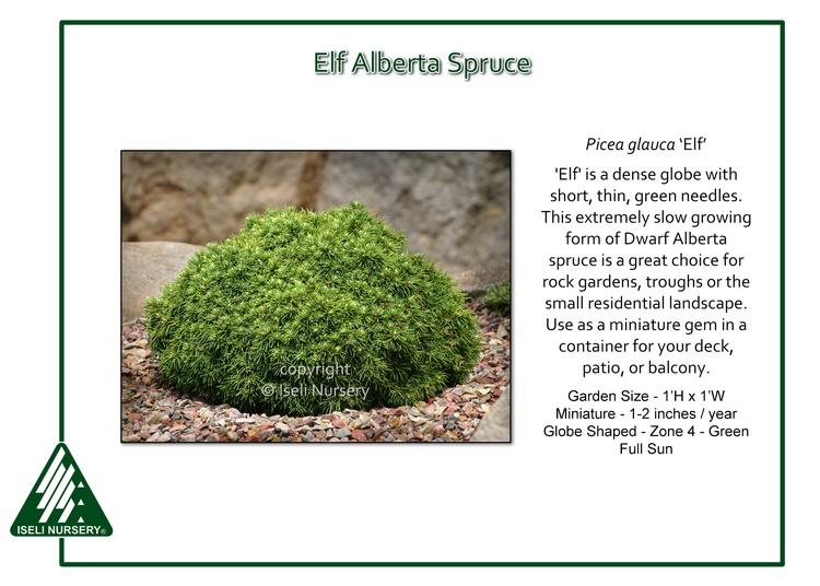 Picea glauca 'Elf'