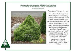 Picea glauca 'Humpty Dumpty'