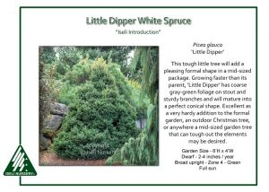 Picea glauca 'Little Dipper'