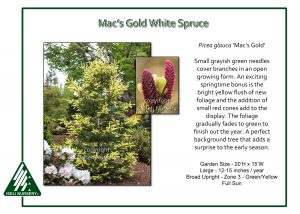 Picea glauca 'Mac's Gold'