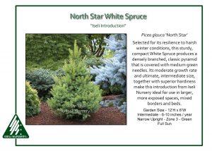 Picea glauca 'North Star'