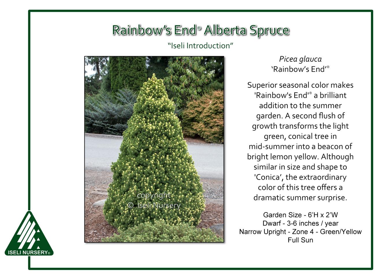 Pain de Sucre épicéa Rainbows End 20-25 cm-Picea glauca