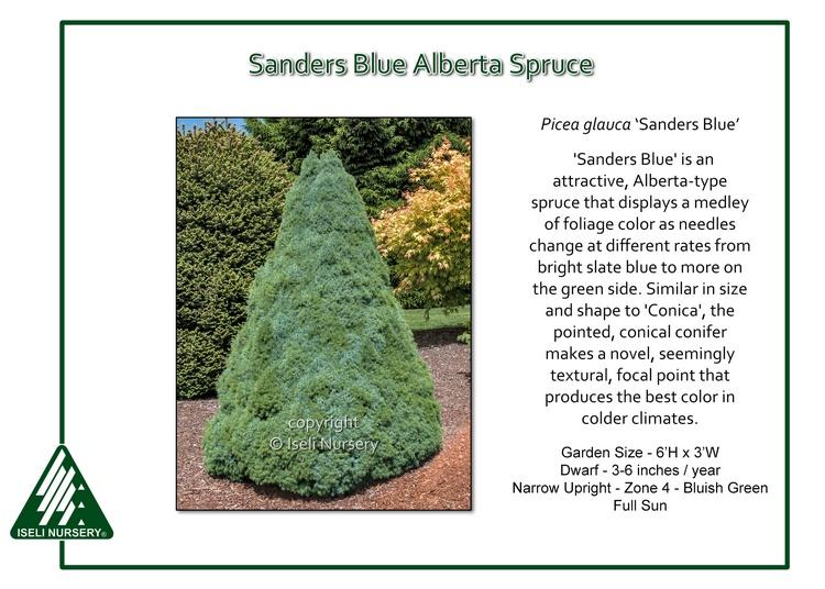 Picea glauca 'Sanders Blue'