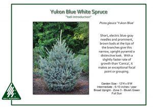 Picea glauca 'Yukon Blue'