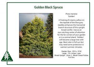 Picea mariana 'Golden'