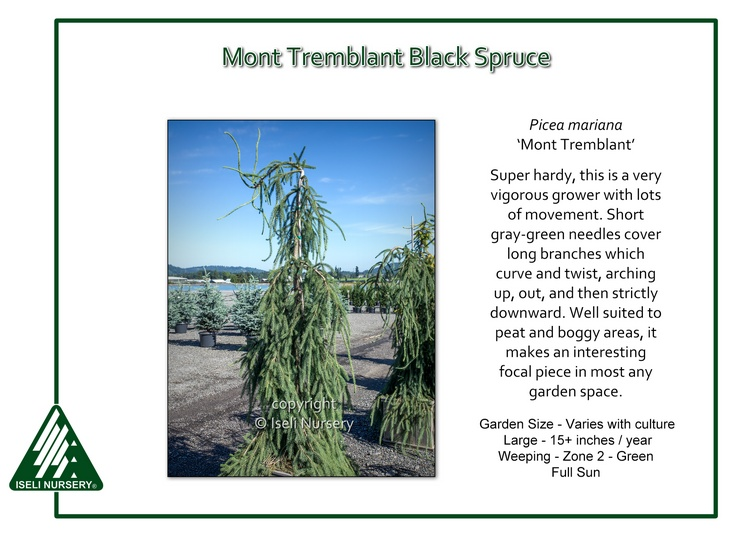 Picea mariana 'Mont Tremblant'