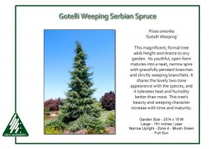 Picea omorika 'Gotelli Weeping'
