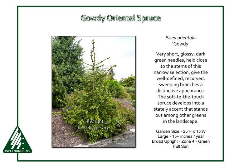 Picea orientalis 'Gowdy'