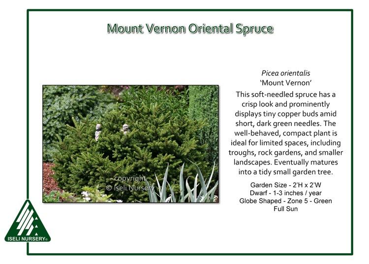 Picea orientalis 'Mount Vernon'