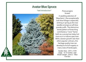 Picea pungens 'Avatar'