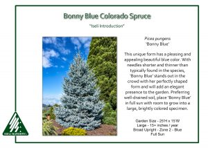 Picea pungens 'Bonny Blue'