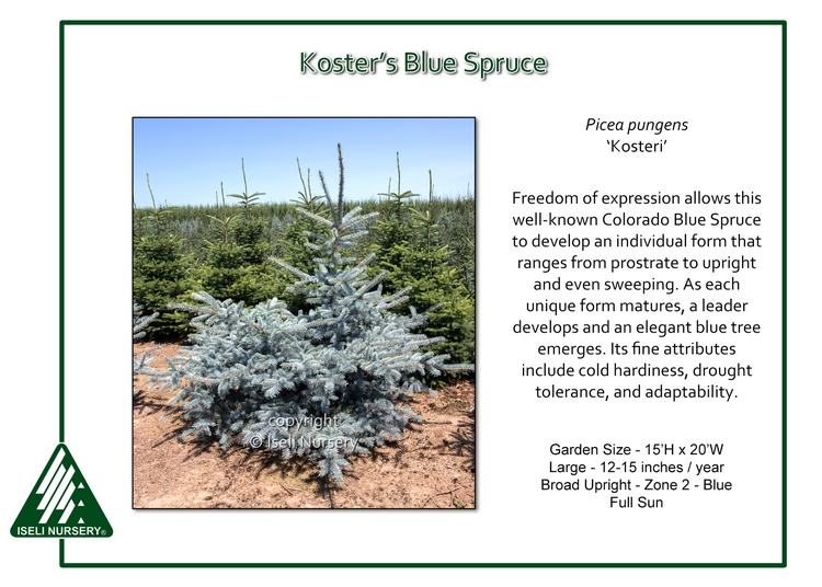 Picea pungens 'Kosteri'